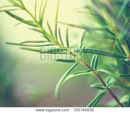 Fresh rosemary leaves. Green flavoring outdoor. Closeup of Organic Fresh rosemary plant growing in the garden. Condiment concept. Ingredients for cooking and medicine