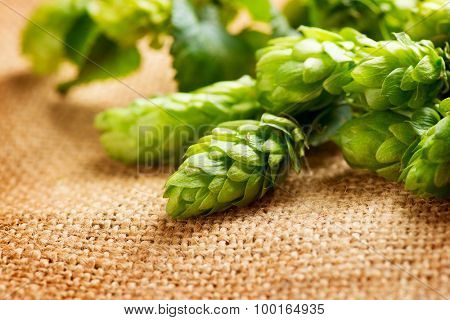 Hop close up. Green fresh Cones of hop over sack linen texture. Burlap background. Beer brewing concept. Brewery poster