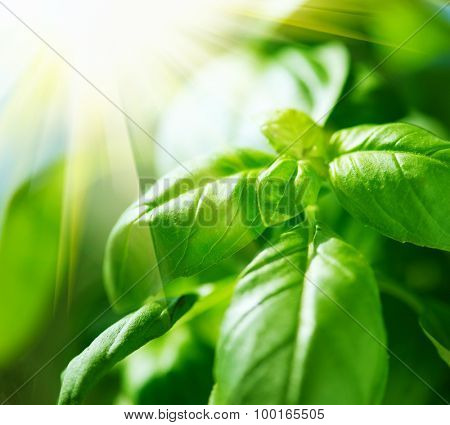 Basil leaves in sunlight. Green basil growing outdoor. Fresh Flavoring. Nature healthy food over Blurred Background with Sunbeams. Vegetarian and healthy food concept. Basils Leaves closeup