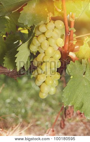 White grapes in bright sunshine