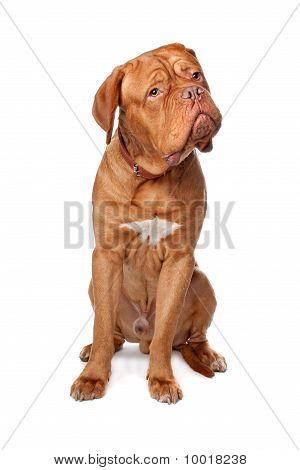 Dogue De Bordeaux (french Mastiff)