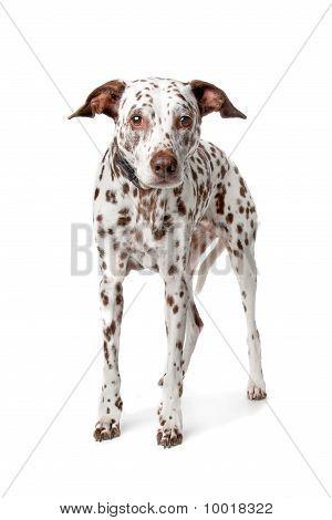 Old Dalmatian