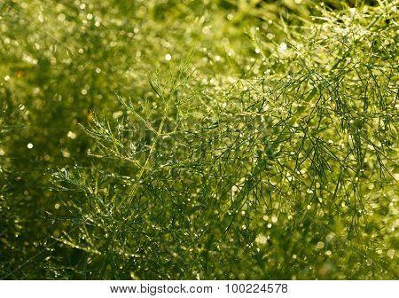 Asparagus Officinalis Background