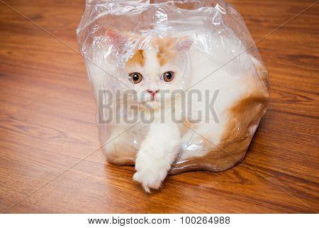 Cute Persian Cat In Plastic Wrap On Wood Floor