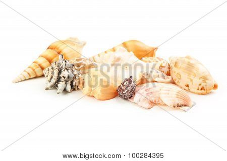 Sea Shells Isolated On White