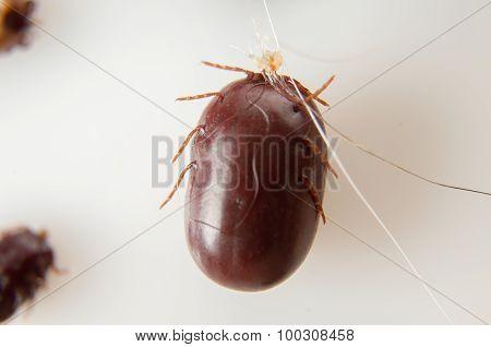 white background Ticks