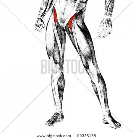 Concept or conceptual 3D adductor longus human upper leg anatomy or anatomical and muscle sketch isolated on white background poster