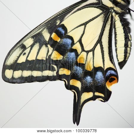 Wings of swallowtail butterfly