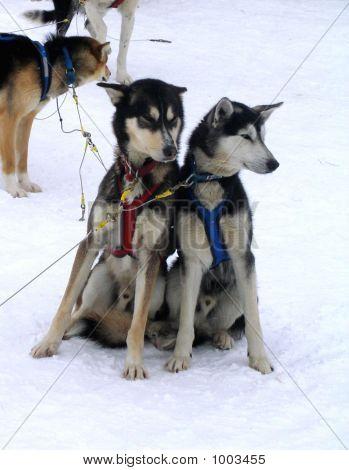 Escimo Dogs