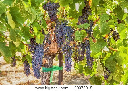 Ripe Syrah Grapes In The Vineyard