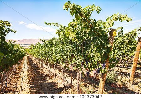 Row Of Grapevines On Red Mountain