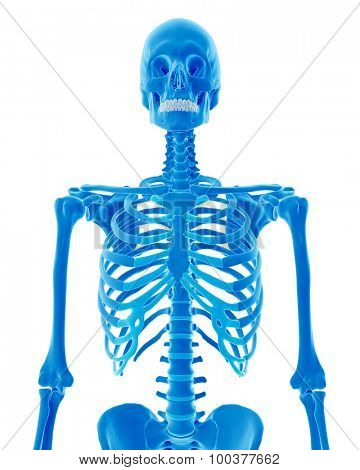medically accurate illustration of the skeletal thorax