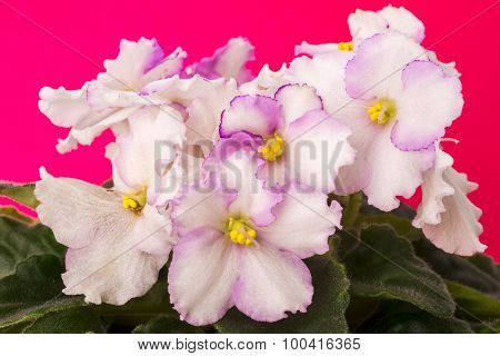 beautiful flowers of violets, flowers, macro photo
