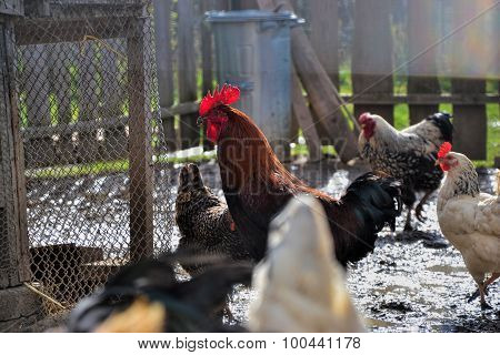 Hens And Roosters Feed On The Farm Yard. Dominant Cock And Chickens Eating Grain On The Barnyard