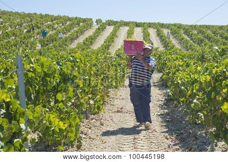 People Doing Manually Harvest