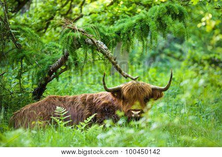 Lazy Higlander Cow