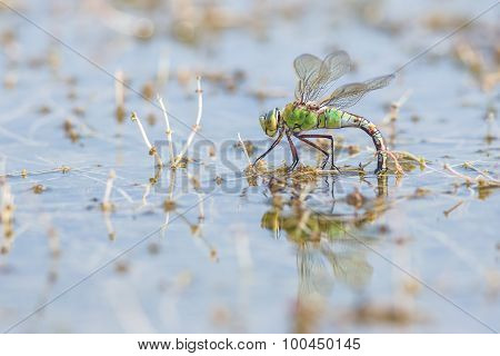 a female emperor dragonfly Anax imperator in it's surrounding busy with depositing eggs poster