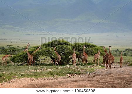 African Scenery With A Group Of Giraffes Grazing.