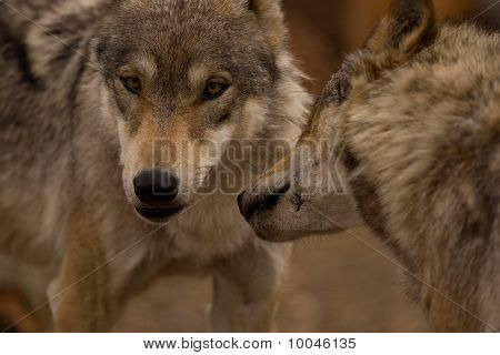 A Pair Of European Wolves
