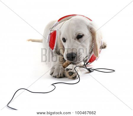 Labrador dog chewing bone with headphones isolated on white poster