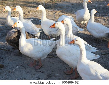 Flock Of Geese On The Poultry Yard
