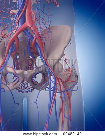 medically accurate illustration of the circulatory system - hip