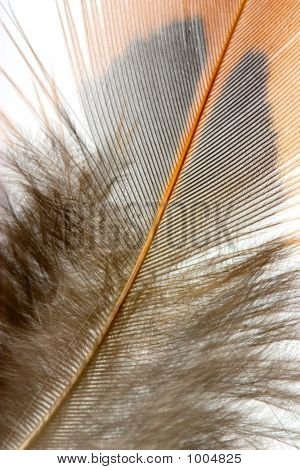 macro shot of pheasant feathers over white poster
