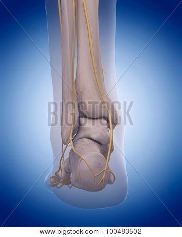 medically accurate illustration - nerves of the  foot