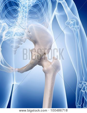 medically accurate illustration of the human skeleton - the femoral neck