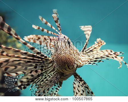 Venomous Coral Reef Fish Red Lionfish (pterois Volitans)