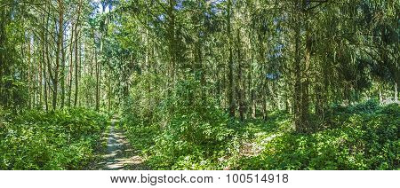 Old Wild Forest At The Island Of Usedom