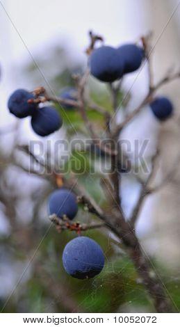 Autumn Bilberry.
