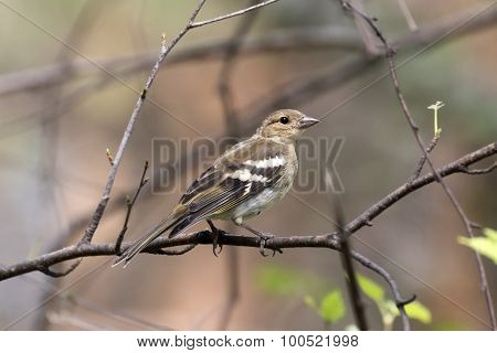 Chaffinch On A Tree Trunk