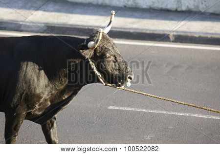 Traditional azores bullfighting feast in Terceira. Portugal. Touradas a corda. Horizontal poster