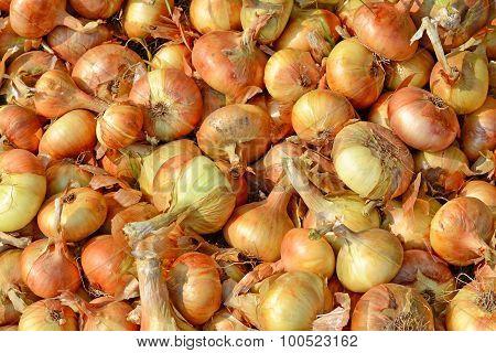 Raw Ripe Onion Closeup