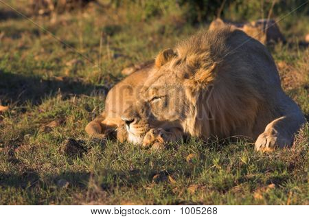 Sleeping Male Lion