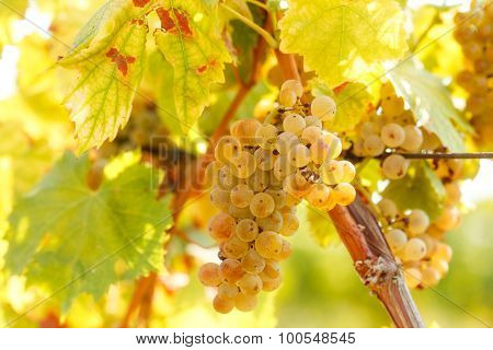 Wine grapes - grape Riesling