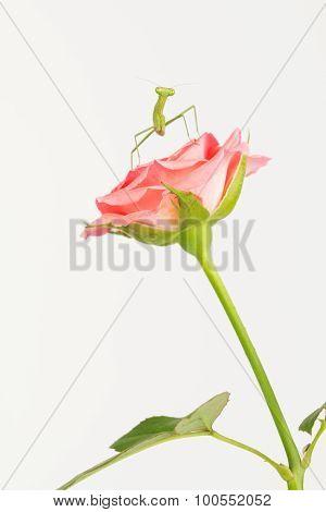 Funny looking Green praying mantis on pink rose. poster
