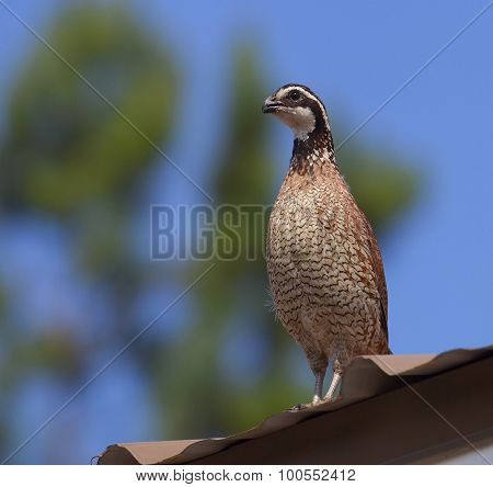 Quail On The Roof