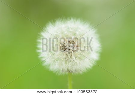 Overblown dandelion on green background