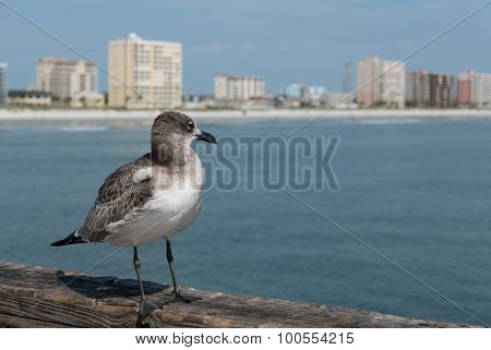 JACKSONVILLE BEACH, FL-AUGUST 27, 2015: A seagull looks over Jacksonville Beach from the pier. The population of Jacksonville Beach was 20,362 at the 2010 census.