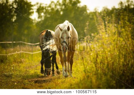 Horses Walking In Paddock