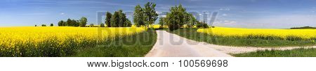 Field Of Rapeseed With Rural Road