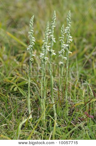 Autumn Ladys Tresses Orchid - Spiranthes spiralis poster