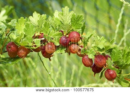 Gooseberries Covered With Water Drops