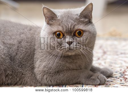 Scottish stright cat