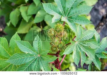 Green Buds Of Castor Oil Plant Ricinus Communis