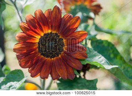 Growing Yellow - Orange Sunflower(helianthus) In The Garden