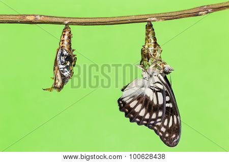 Black-veined Butterfly Emerging From Pupal