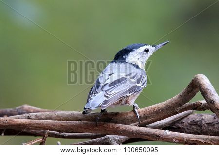 Perching Nuthatch